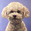 Avery Pet Portrait, sweet Bichon from Carlsbad, CA